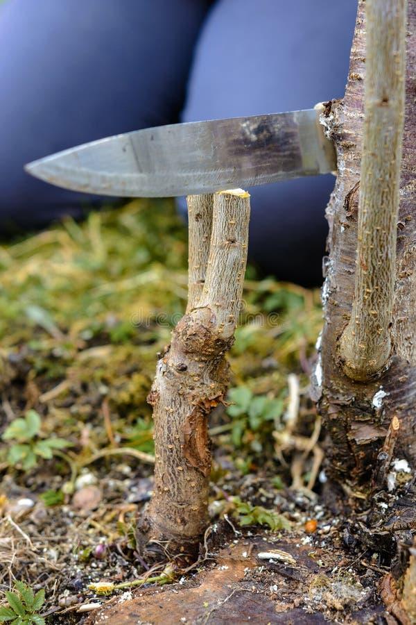 Een vrouw snijdt een jonge boom met een mes voor de inenting van de fruittak royalty-vrije stock foto's