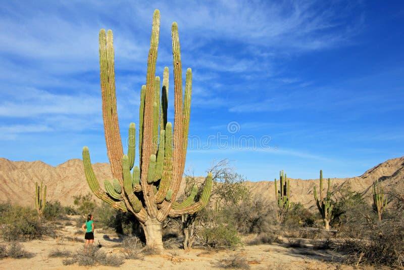 Een vrouw toont de ongelooflijke hoogte van grote de cactus van Olifantscardon of van cactuspachycereus pringlei, Baja aan stock foto's