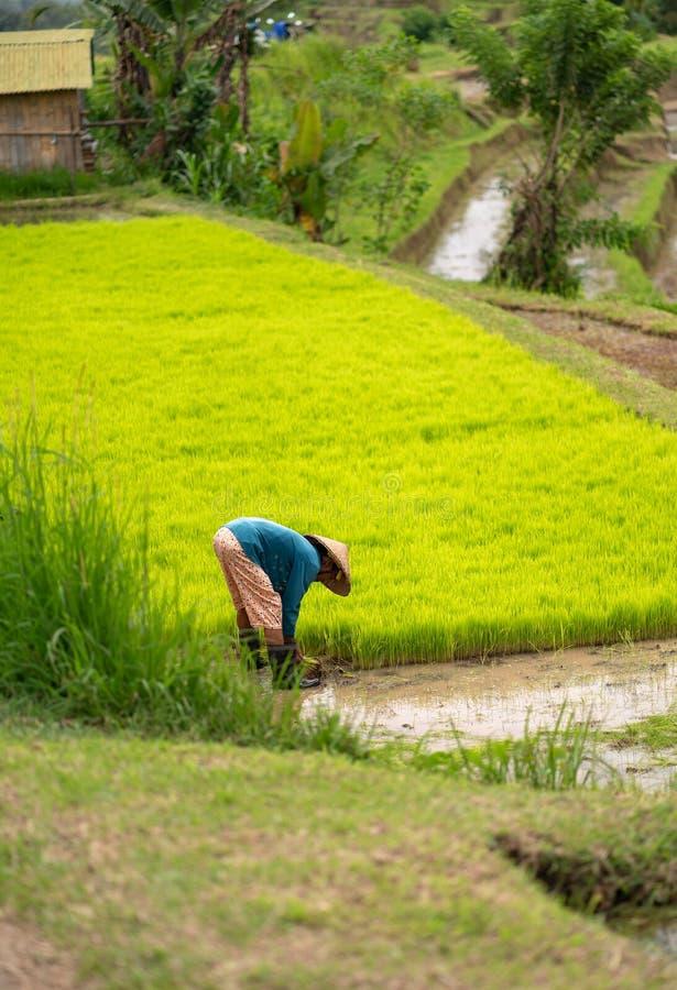 Een vrouw verzamelt rijst op de aanplanting foto in verticale positie van Bali stock foto