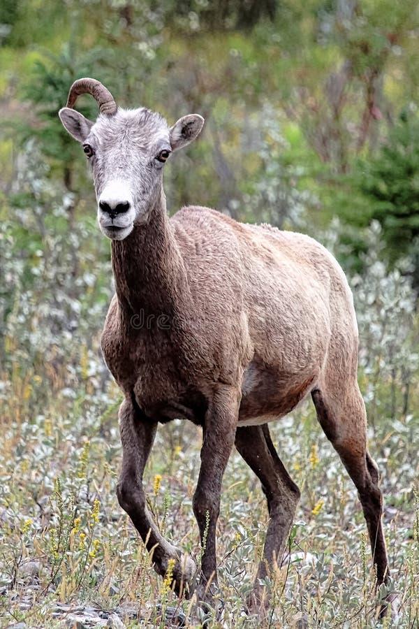 Een vrouwelijk bighorn schaap met slechts één hoorn royalty-vrije stock foto