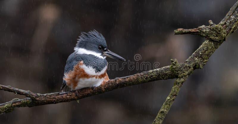 Een Vrouwelijk Omgord Ijsvogelportret stock foto's