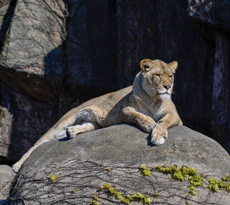 Een Vrouwelijke Afrikaanse Leeuw 3 stock afbeeldingen
