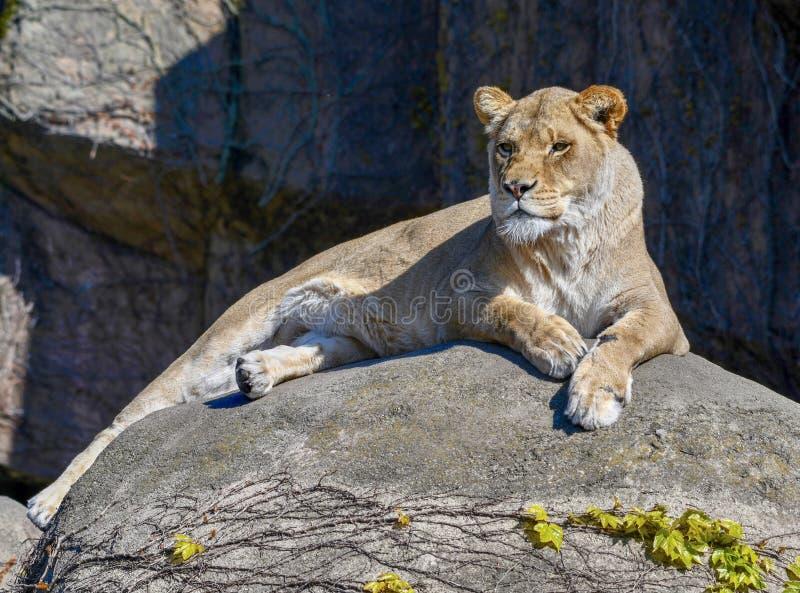 Een Vrouwelijke Afrikaanse Leeuw 1 royalty-vrije stock afbeeldingen