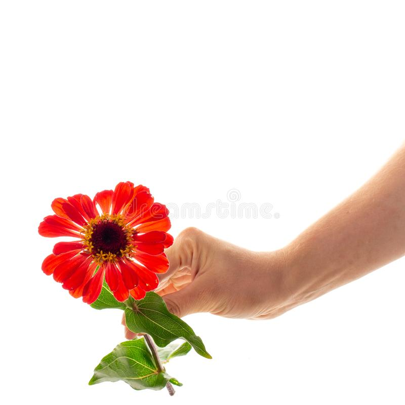 Een vrouwelijke hand die een tot bloei komende die bloem van Zinnia houden op witte achtergrond wordt geïsoleerd Een bloem als gi royalty-vrije stock afbeeldingen