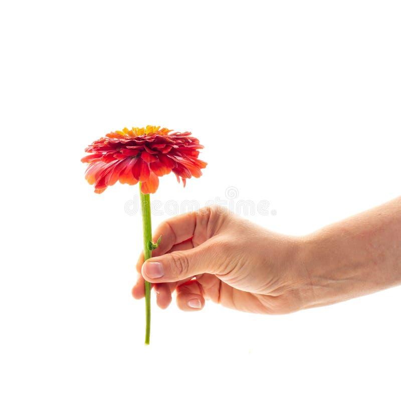 Een vrouwelijke hand die een tot bloei komende die bloem van Zinnia houden op witte achtergrond wordt geïsoleerd Een bloem als gi stock afbeelding