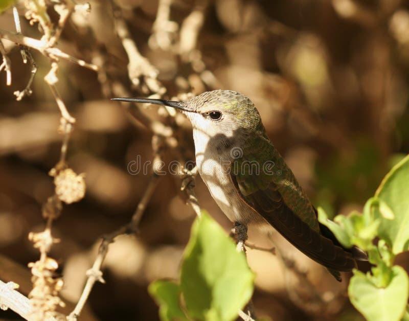 Een vrouwelijke Kolibrie Calliope royalty-vrije stock afbeeldingen