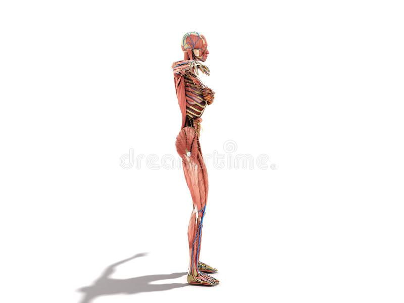 Een vrouwelijke lichaamsanatomie voor boeken 3d ilustration op wit vector illustratie