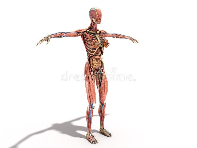 Een vrouwelijke lichaamsanatomie voor boeken 3d ilustration op wit stock illustratie