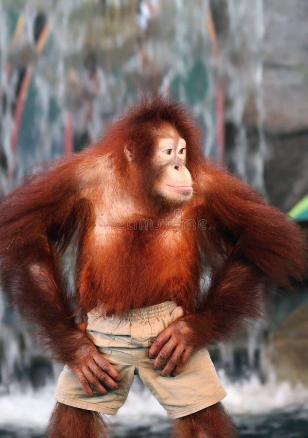 Een vrouwelijke Orangoetan stock fotografie
