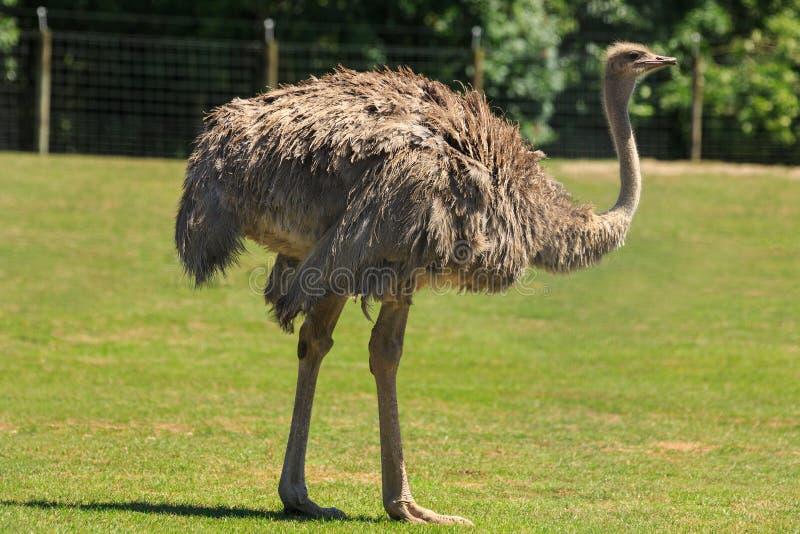 Een vrouwelijke struisvogel in een grasrijke bijlage royalty-vrije stock foto's