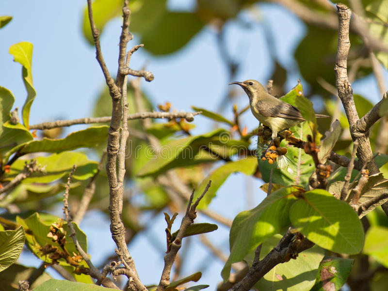 Een vrouwelijke veranderlijke Sunbird royalty-vrije stock foto