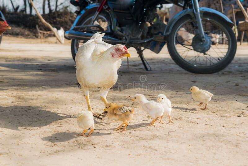 Een vrouwelijke witte kip die zijn kleine kuikens voeden royalty-vrije stock foto