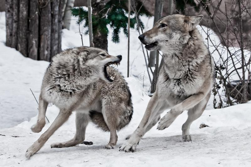 Een vrouwelijke wolf breekt bij een mannelijke wolf en hij ontwijkt deftly een beet Een strijd tijdens de wolf mompelt huwelijken stock fotografie
