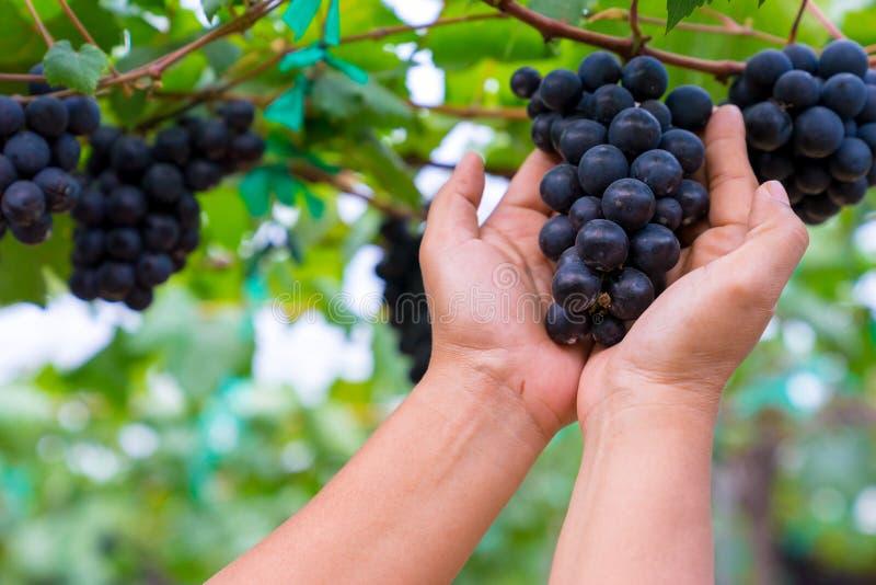 Een vrouwenhand die een bos van zwarte druiven houden royalty-vrije stock afbeeldingen