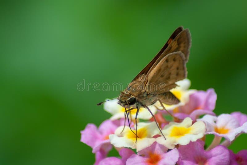 Een vurige kapiteinsvlinder zit met vleugels die op een lantanabloesem worden gesloten royalty-vrije stock fotografie