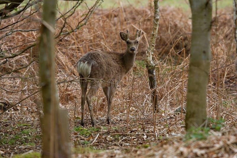Een waakzaam mannelijk Sika-hert royalty-vrije stock foto's