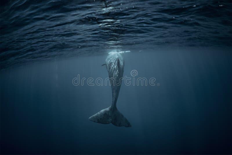 Een walvis in diepe blauwe oceaan onderwater stock fotografie