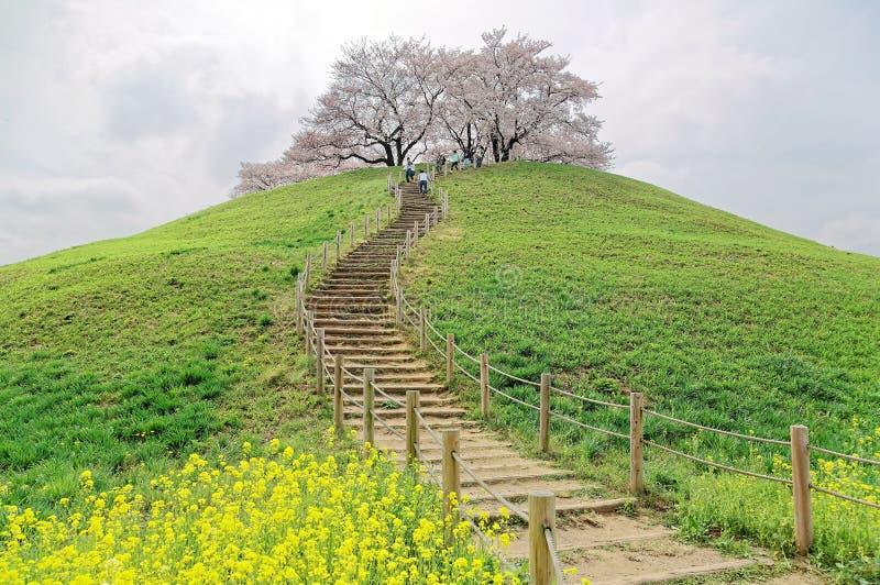Een wandelingssleep die naar de heuveltop met mooie sakuraboom stijgen komt en groene grasrijke weiden tot bloei stock foto