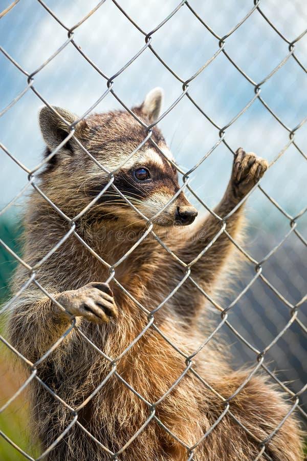 Een wasbeer achter een omheining bij een dierentuin royalty-vrije stock foto's