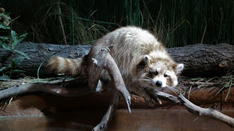 Een Wasbeer die op een Lidmaat rusten royalty-vrije stock foto