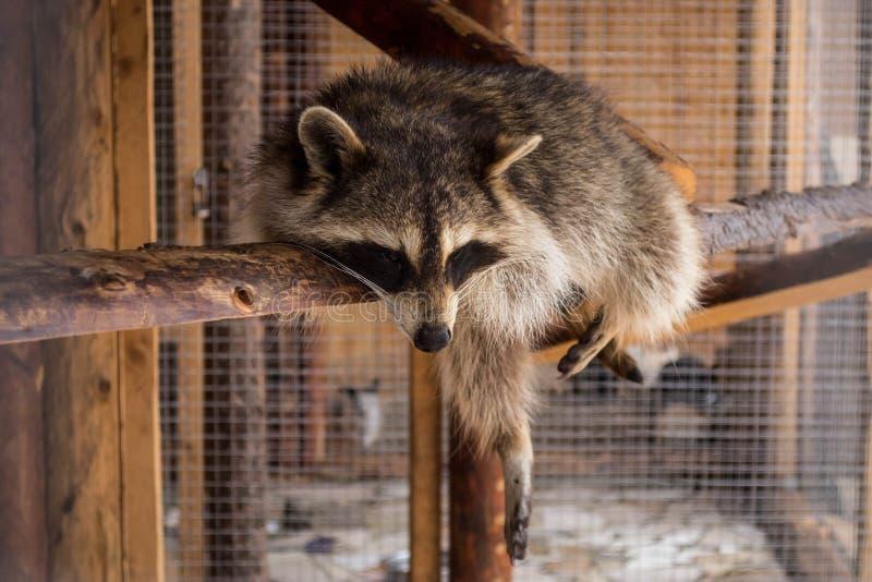 Een wasbeer die rust hebben bij middag royalty-vrije stock fotografie
