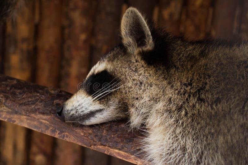 Een wasbeer die rust hebben bij middag stock foto's