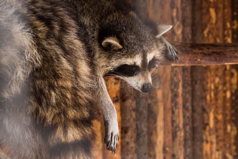 Een wasbeer die rust hebben bij middag royalty-vrije stock afbeelding