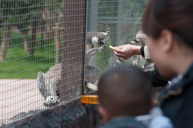 Een wasbeer door mensen wordt gevoed die stock fotografie