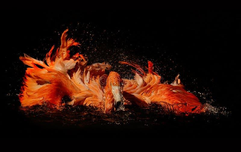 Een water van de flamingoafstraffing met zijn vleugels stock afbeeldingen
