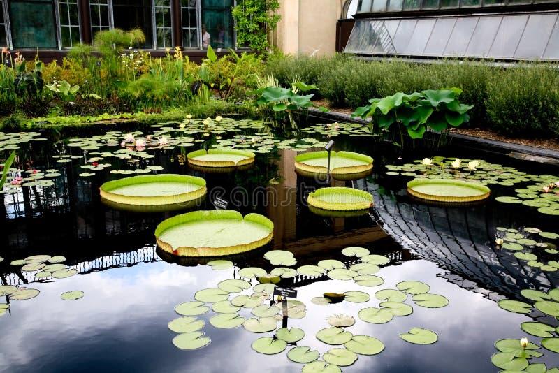 Een waterlelie die in een botanische tuin wordt getoond stock afbeeldingen