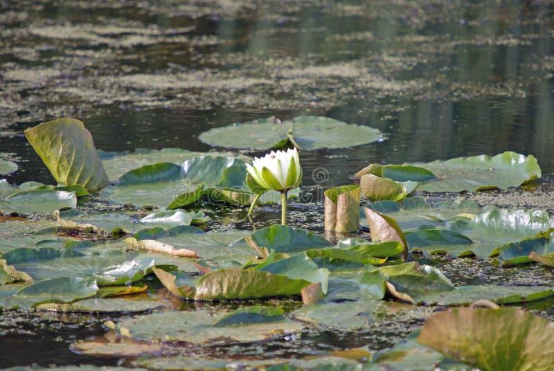 Een waterlelie in een vijver stock afbeelding