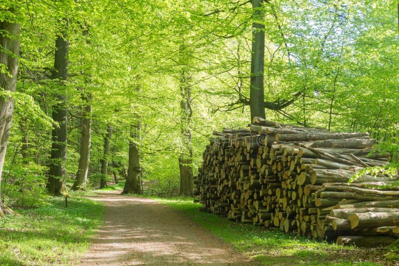Een weg in een beukbos in de lente met een stapel van hout, Denemarken stock afbeelding