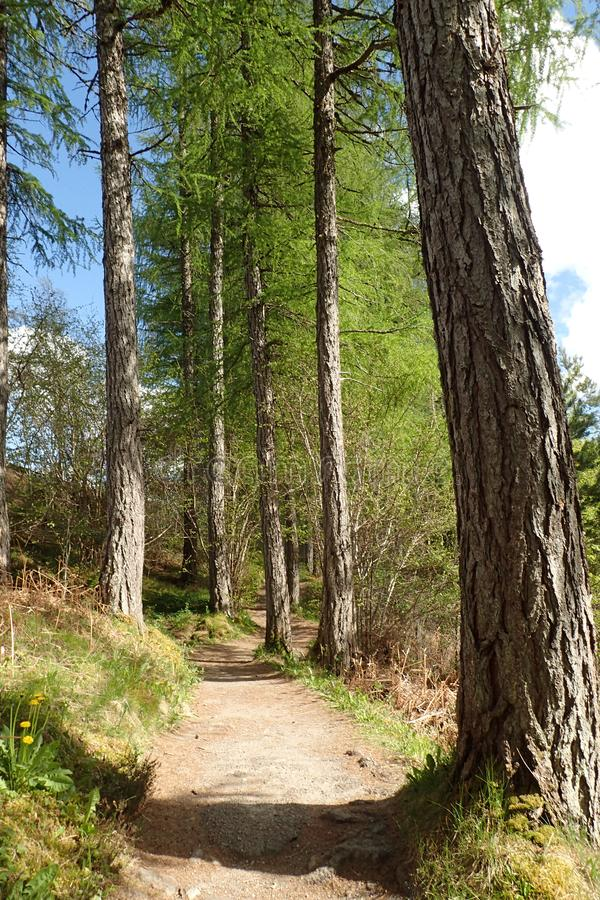 Een weg die door de lange Lariksbomen bij Corrieshalloch-Kloof winden royalty-vrije stock foto