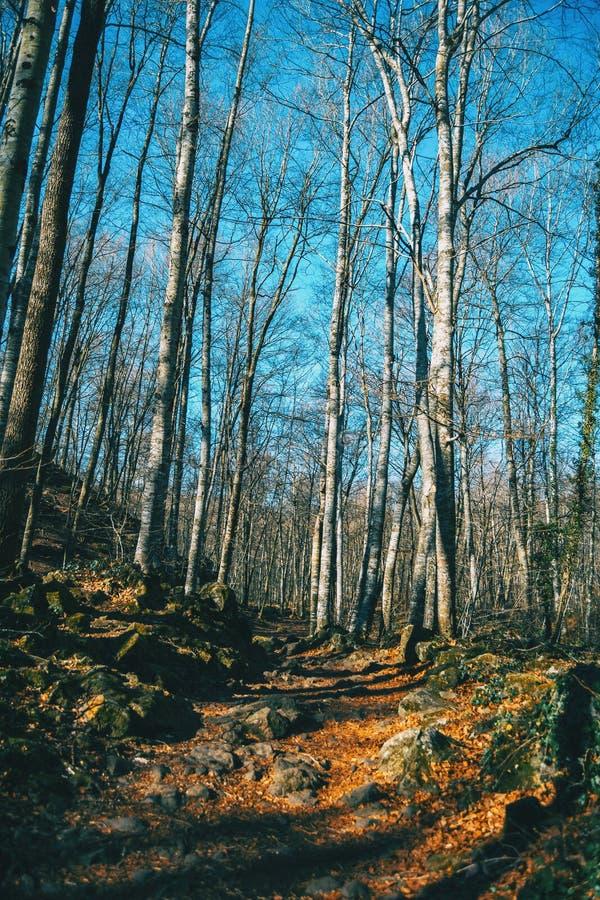 Een weg onder lange naakte bomen stock afbeelding