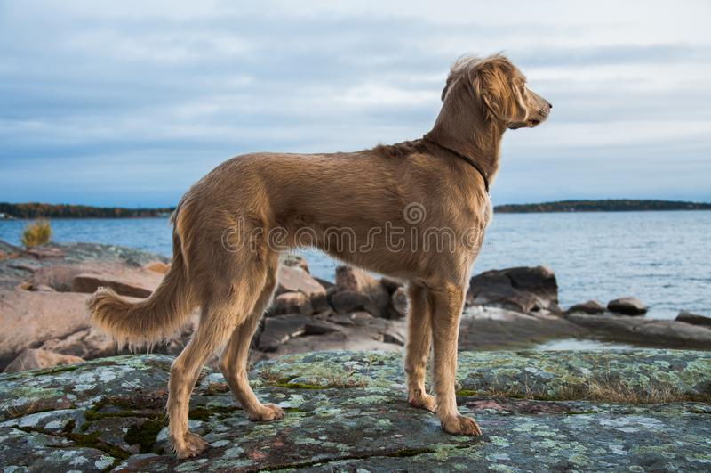 Een Weimaraner-hond die uit over een meer kijken royalty-vrije stock foto