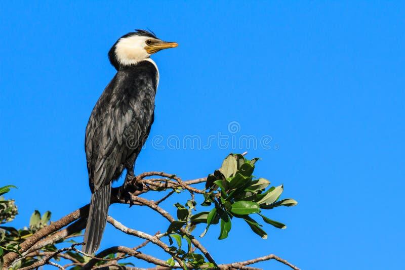 Een weinig Bonte Aalscholver op een tak tegen blauwe hemel stock foto
