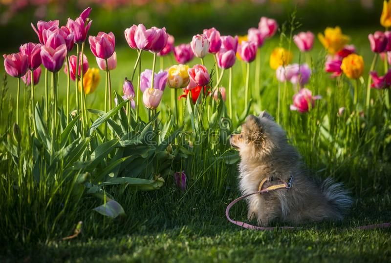 Een weinig Duitse spitz hond ruikende tulpen royalty-vrije stock foto