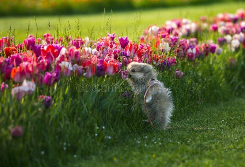 Een weinig Duitse spitz hond ruikende tulpen stock foto