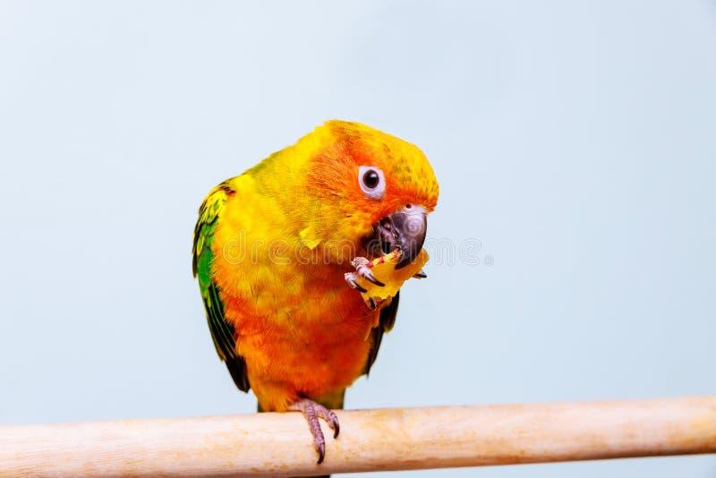 Een weinig kleurrijke papegaai die het eten van zaad bekijken stock foto