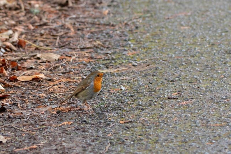 Een weinig Robin ter plaatse in de Winter royalty-vrije stock foto's