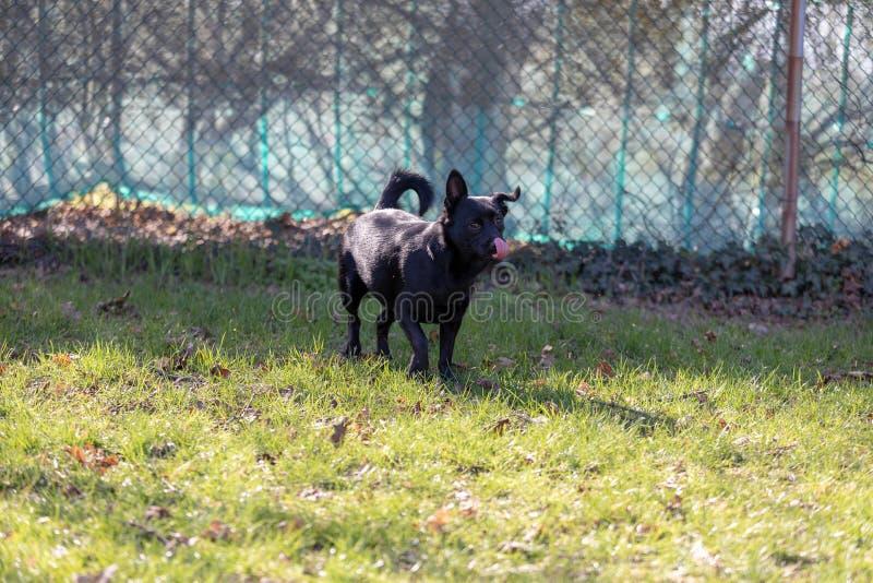 Een weinig zwarte hond in openlucht in groen gras De hond is gemengd van een Labrador royalty-vrije stock afbeeldingen