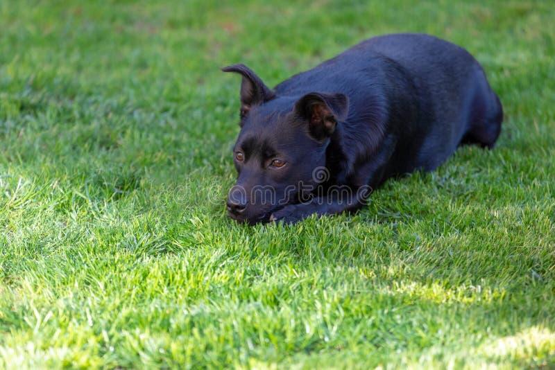 Een weinig zwarte hond in openlucht in groen gras De hond is gemengd van een Labrador stock fotografie