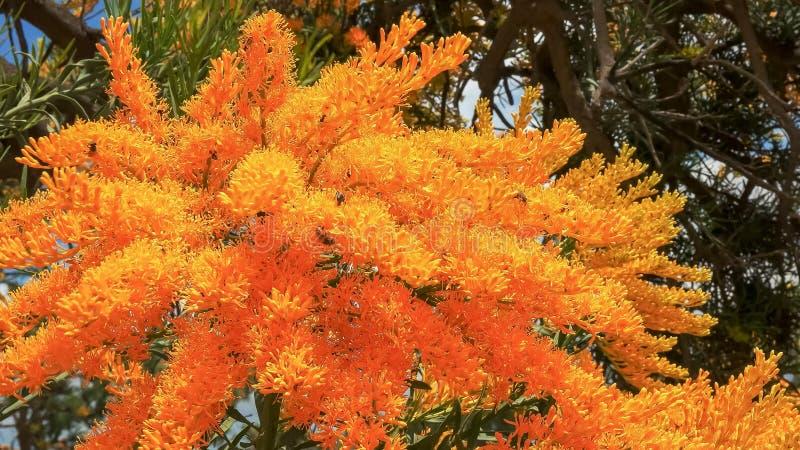 Een westelijke Australische Kerstmisboom met heldere gele bloemen stock fotografie
