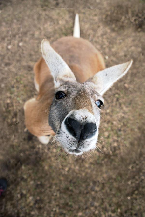 Een Westelijke grijze kangoeroe (Macropus-fuliginosus) in Australië royalty-vrije stock afbeeldingen