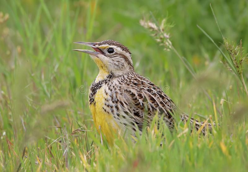 Een westelijke meadowlark in lang gras die insecten zoeken om te eten stock afbeelding