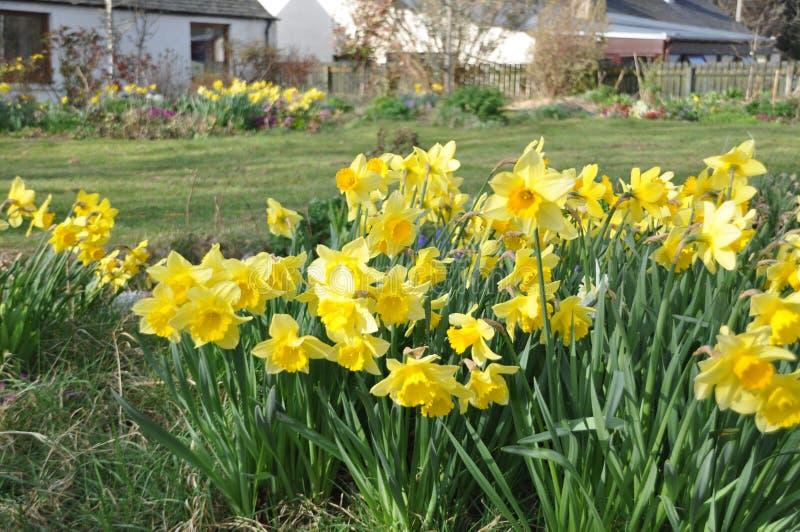 Een wijd gekweekte gele narcis in de tuin royalty-vrije stock fotografie
