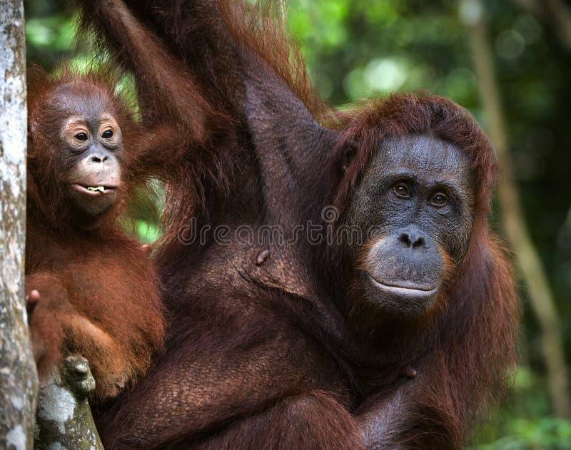 Een wijfje van de orangoetan met een baby. royalty-vrije stock afbeeldingen