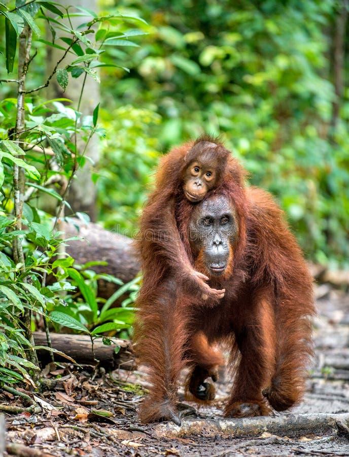 Een wijfje van de orangoetan met een welp royalty-vrije stock afbeelding