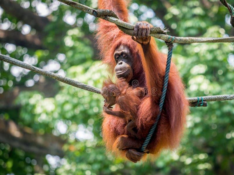 Een wijfje van de orangoetan met een welp in de dierentuin stock fotografie