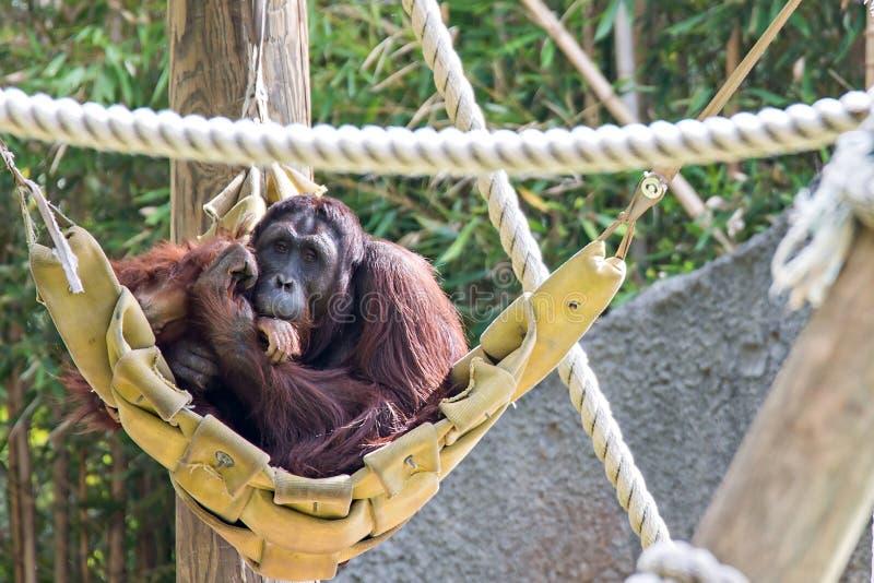 Een wijfje van de orangoetan met een welp in een inheemse habitat royalty-vrije stock foto